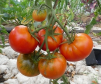 Tomatensorte Vilja