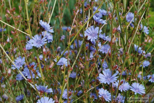 Blühende Wegwarte Foto: Susanne Goroll