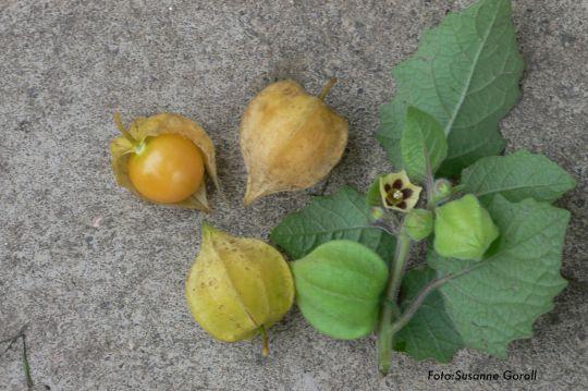 Ananaskirsche Physalis pruinosa Foto: Susanne Goroll