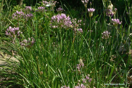 Kantenlauch Allium angulosum Foto: Susanne Goroll