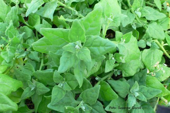 Neuseeländer Spinat Tetragonia tetragonioides Foto: Susanne Goroll