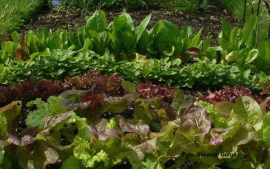 Salatvielfalt Foto: Susanne Goroll