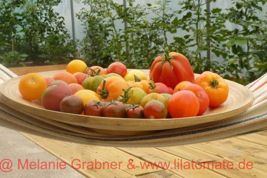 Reiche Tomatenernte