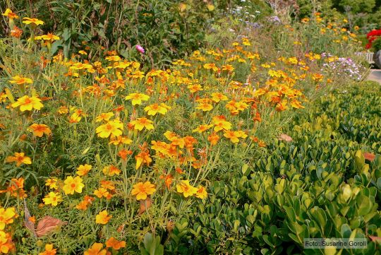 Tagetes tenuifolia Foto: Susanne Goroll