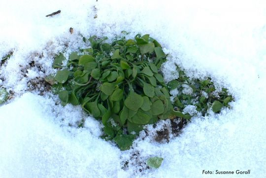 Winterpostelein Foto: Susanne Goroll